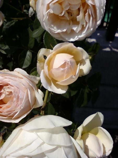 Our rose bush